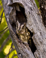 Great Horned Owl in Hollowed Tree